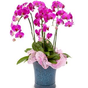호접란공기정화식물 1호